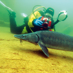 Ein Taucher schwimmt im Wasser mit einem Stör im Tauchbecken Naturagart