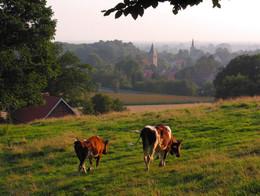Kühe auf Brochterbecker Wiese